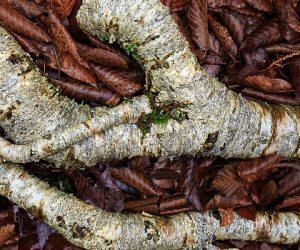 j-k-putnam-birch-roots